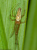 26 June 2011. Tetragnatha sp. at Petersfield Common. Copyright Peter Drury 2011