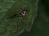 Robber fly with its prey?. Copyright Peter Drury 2010