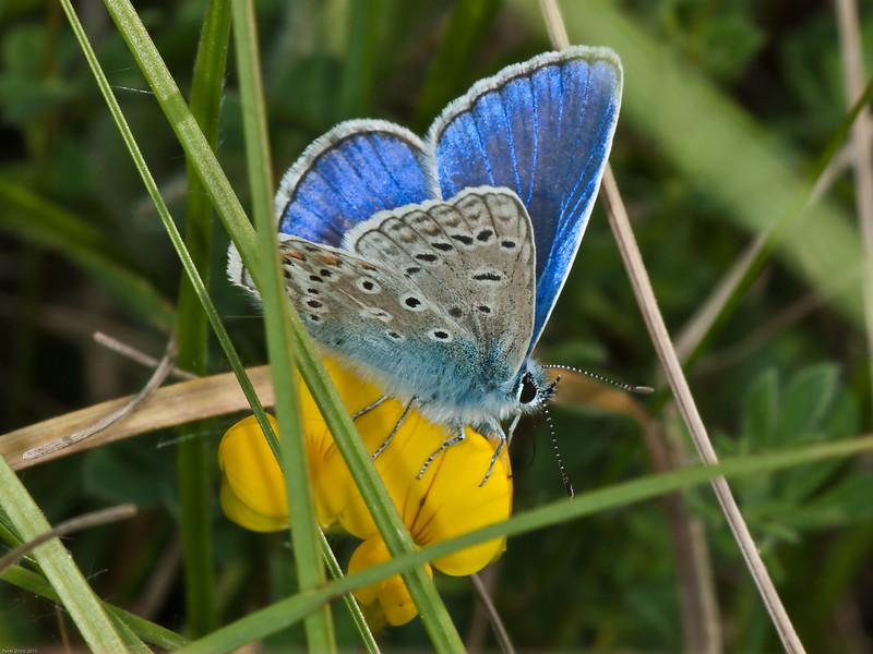 common blue (Polyommatus icarus). Male Copyright Peter Drury 2010