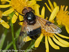 04 Sep 2010 - Volucella pellucens at Broadmarsh. Copyright Peter Drury 2010