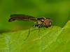 03 May 2010. Baccha elongata. Copyright Peter Drury 2010
