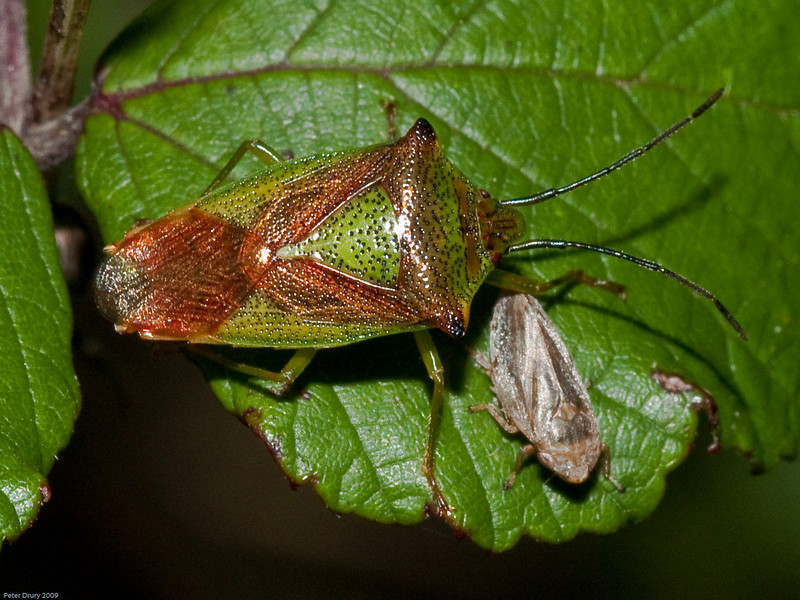 Hawthorn Shield Bug (Acanthosoma haemorrhoidale). Copyright 2009 Peter Drury<br /> Seen here in the comapany of Common Froghopper (Philaenus spumarius).