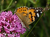 Painted Lady (Vanessa cardui) on Red Valerian (Centranthus ruber). Copyright Peter Drury 2010