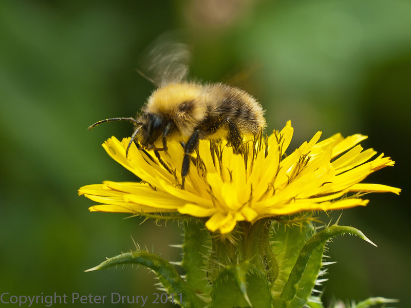 19 Sep 2011 Bombus pascuorum at Plant Farm