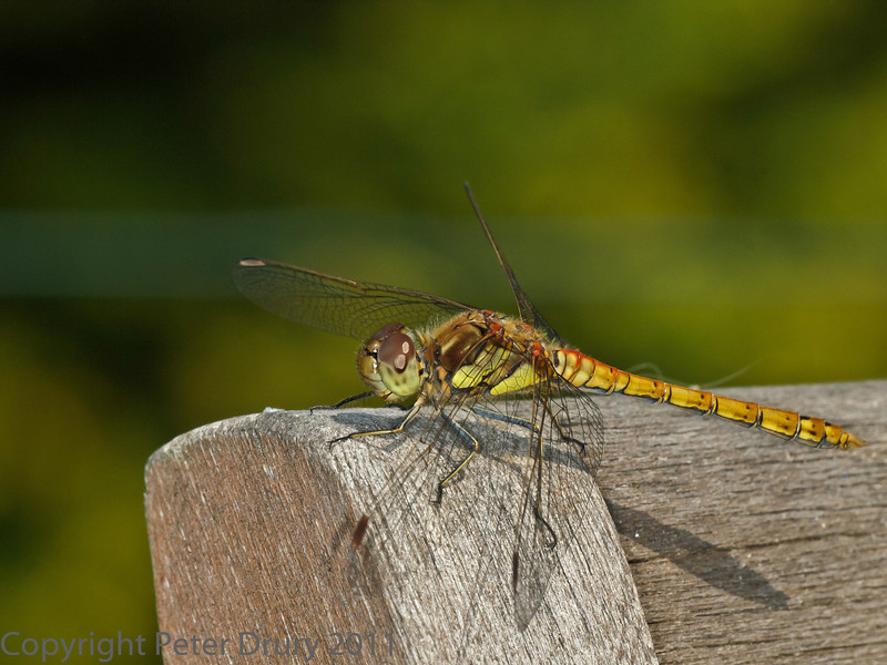 31 Jul 2011. Common Darter at Widley.
