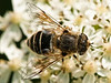 03 Jun 2009. Hoverfly (Eristalinae-Eristinali-Eristalis arbustorum). Copyright Peter Drury 2009<br /> This example does not have the orange pattern.