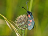 24 Jun 2011. 5-spot Burnet Moth at the Chalk Quarry. Copyright Peter Drury 2011