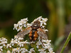 29 Sep 2009. Tachina fera. Copyright 2009 Peter Drury