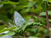 29 July 2010 - Holly Blue. Copyright Peter Drury 2010