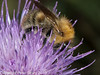 06 Sep 2010 - Bombus pascuorum seen at Plant Farm, Waterlooville. Copyright Peter Drury 2010