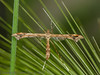 29 June 2012 Plume moth at Fareham.