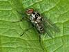 Anthomyiidae sp. Copyright Peter Drury 2010