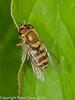 25 July 2010 - Syrphus vitripennis. Copyright Peter Drury 2010