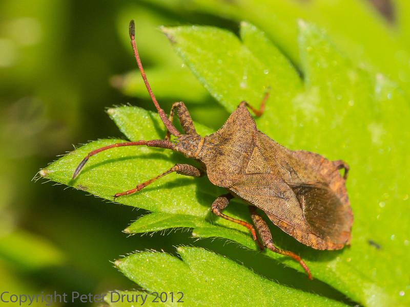 21 July 2012 Squash bug at Widley