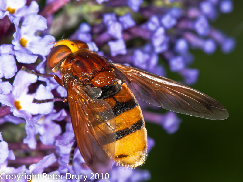 19 Aug 2010 - Volucella zonaria. Copyright Peter Drury 2010<br /> The amber infused wings and chestnut brown second sternite can be clearly seen.