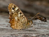 30 July 2010 - Speckled Wood (Pararge aegeria). Copyright Peter Drury 2010