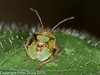 28 Aug 2010 - Birch Shield Bug - Final instar. Copyright Peter Drury 2010