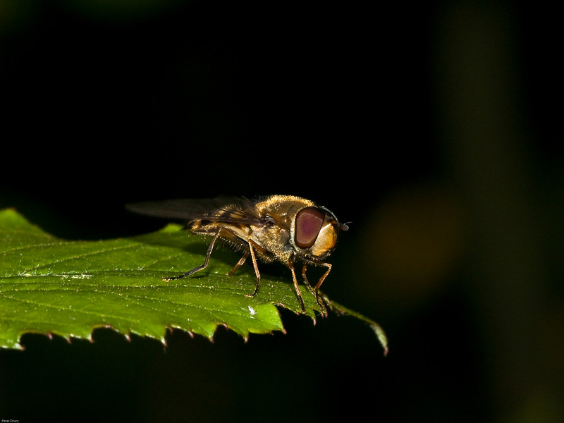 Hoverfly (Syphidae-Syriphinae-Melanostoma scalare) Copyright 2009 Peter Drury.