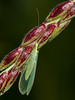 Lacewing (Chrysopa pallens). Copyright 2009 Peter Drury