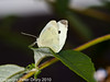 17 Sep 2010 - Small White at Plant Farm, Waterlooville. Copyright Peter Drury 2010