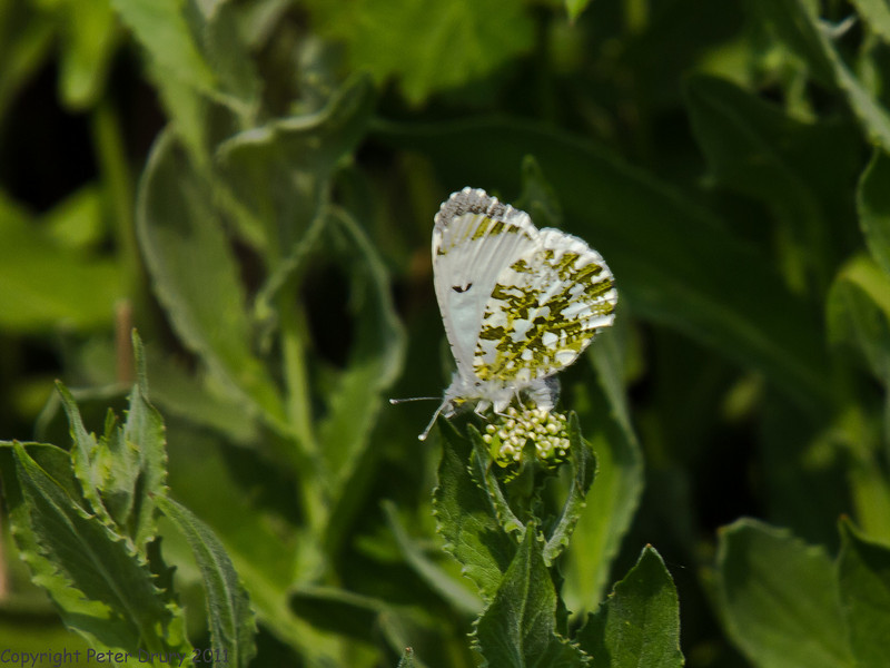 24 April 2011. Orange tip female laying eggs at the Oysterbeds. Copyright Peter Drury 2011