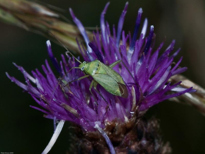 Common Green Capsid (Lygocoris pabulinus). Copyright 2009 Peter Drury<br /> Portchester Common