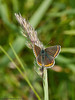 21 May 2011. Brown Argus at the Chalk Quarry, Paulsgrove. Copyright Peter Drury 2011