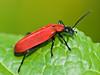 Cardinal beetle (Pyrochroa serraticornis). Copyright Peter Drury 2010
