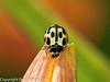 31 July 2010 - 14-spot Ladybird (Propylea 14-punctata). Copyright Peter Drury 2010