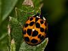 24 Sep 2009. Harlequin Ladybird (Harmonia axyridis succinea). Copyright 2009 Peter Drury
