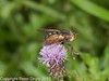 16 Sep 2010 - Tachina fera at Plant Farm, Waterlooville. Copyright Peter Drury 2010
