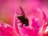 Fly (Helina ?)