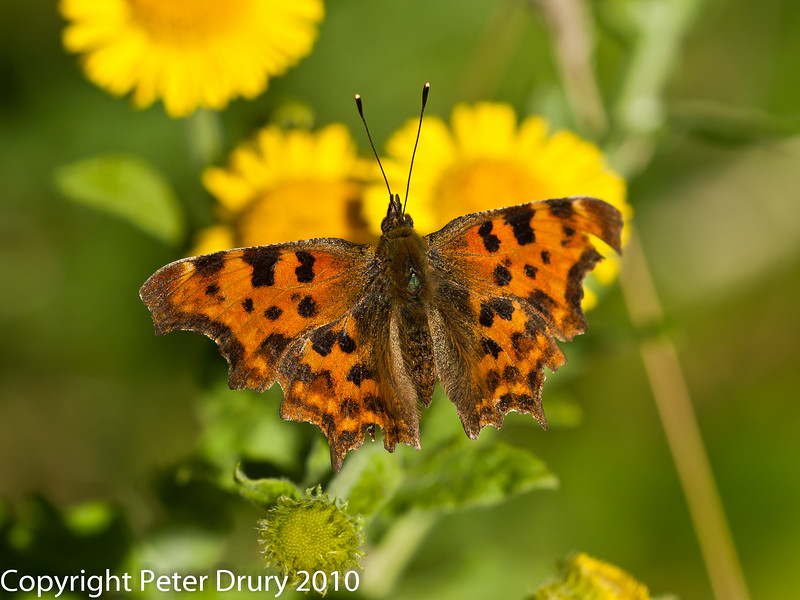 31 July 2010 - Comma. Copyright Peter Drury 2010
