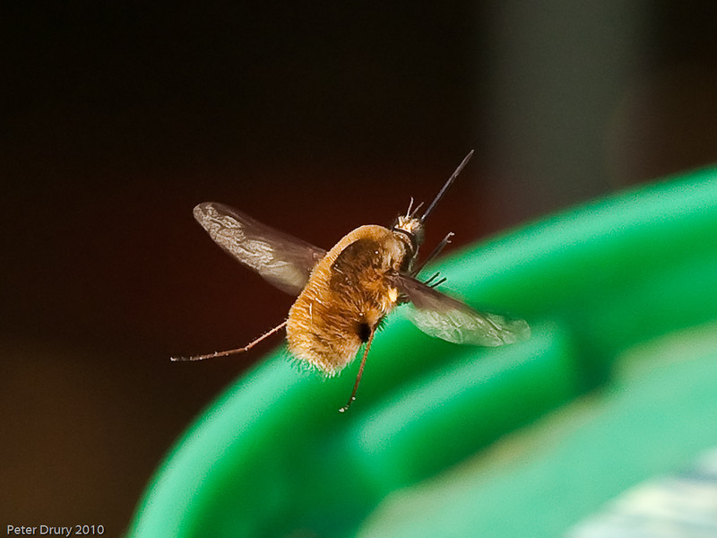 Bee fly (Bombylius major). Copyright Peter Drury 2010