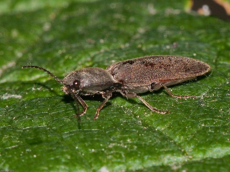 Hairy Click Beetle (Synaptus filiformis). Copyright Peter Drury 2010