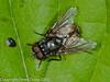 29 July 2010 - Musca autumnalis. Copyright Peter Drury 2010