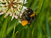 21 May 2011. Buff-tailed Bumblebee at the Chalk Quarry, Paulsgrove. Copyright Peter Drury 2011
