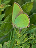 Green Hairstreak (Callophrys rubi). Copyright Peter Drury 2010<br /> Laying eggs