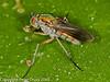 Poecilobothrus nobilitatus. Copyright Peter Drury 2010