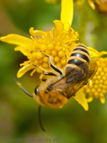 19 Sep 2011 Male Ivy mining Bee feeding on Ragwort nectar at Plant Farm