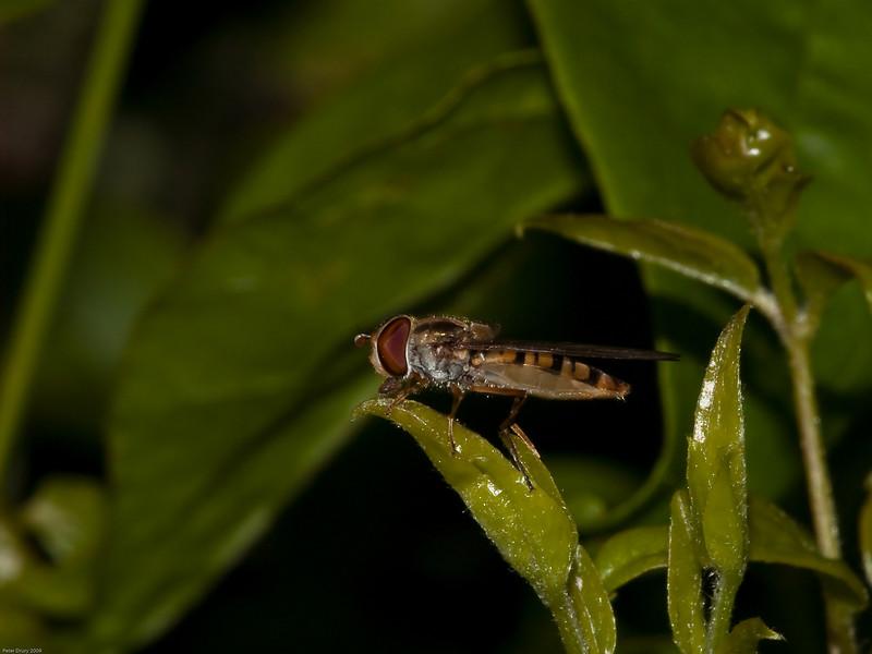 Marmalade Fly (Syriphinae-Syrphini-Episyrphus balteatus) female. Copyright 2009 Peter Drury
