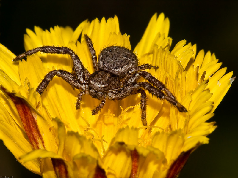 Spider for ID. Copyright 2009 Peter Drury