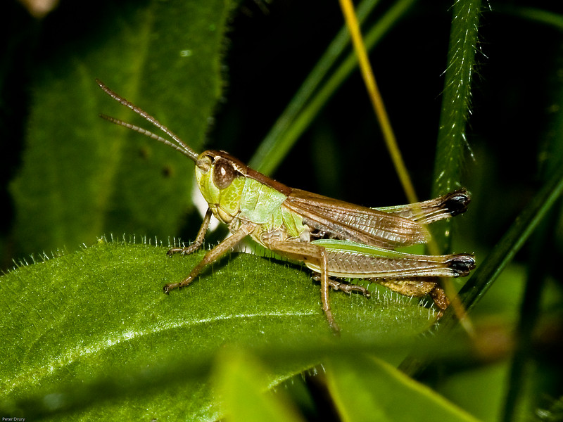 Meadow grasshopper - Chorthippus parallelus. Copyright 2009 Peter Drury<br /> This specimen was found on Portchester Common. A chalk grassland on top of Portsdown hill overlooking Portsmouth harbour. These grasshoppers have very short wings, about 1/3 - 3/4 the length of the body. Most cannot fly. They feed on various grasses.