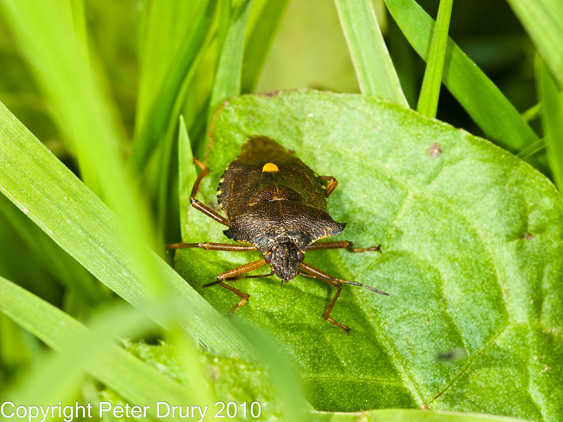 17 Sep 2010 - Forest bug (Pentatoma rufipes) at Plant Farm, Waterlooville. Copyright Peter Drury 2010