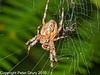 12 Sep 2010 - Garden Spider (Araneus diadematus) at Creech Woods, Denmead. Copyright Peter Drury 2010