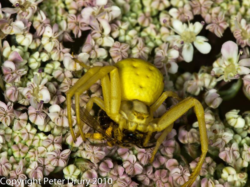 Crab Spider ( Misumena vatia).. Copyright Peter Drury 2010