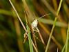 Meadow grasshopper (Chorthippus parallelus). Copyright 2009 Peter Drury