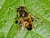 31 May 2011. E. pertinax? at Creech Wood, Denmead. Copyright Peter Drury 2011