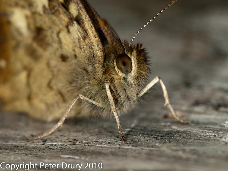 30 July 2010 - Speckled Wood. Copyright Peter Drury 2010