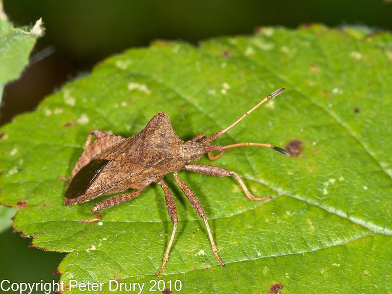 17 Sep 2010 - Squash Bug (Coreus marginatus) at Plant Farm, Waterlooville. Copyright Peter Drury 2010